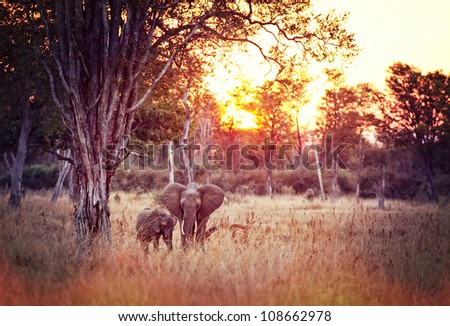 elephant at sunset in luangwa national park zambia - stock photo