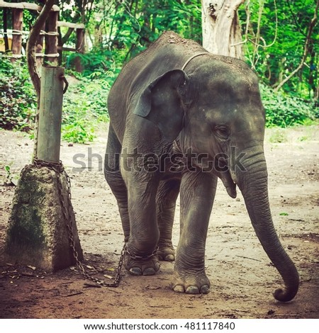 Elephant at Surin Thailand.