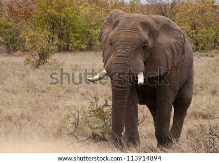 Elephant at the Kruger National Park in South Africa