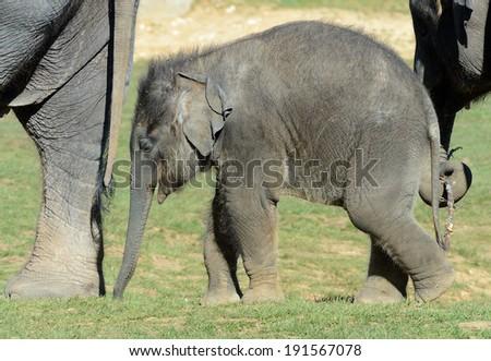 Elephant ( baby indian) - stock photo