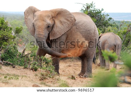 elephant blowing red dust - stock photo
