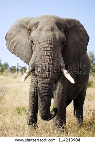 Elephant bull - stock photo