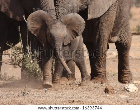 Elephant calf attacks and chases a small bird(Wagtail). - stock photo