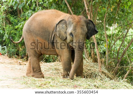 Elephant calf ( baby elephant ) in Thailand. - stock photo