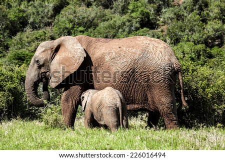 Elephant calf drinking milk from its mother.  - stock photo