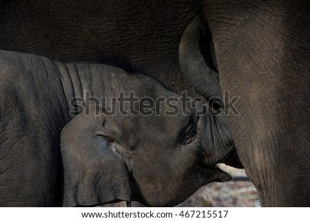 Elephant calf suckled from his mother's breast with his mouth open