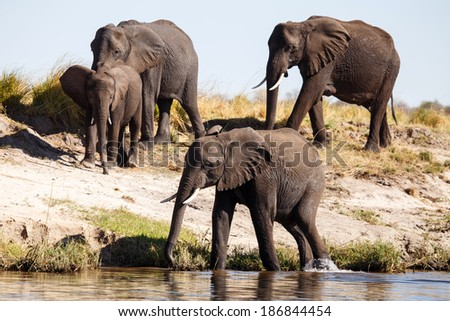 Elephant - Chobe River, Chobe National Park, Botswana, Africa - stock photo