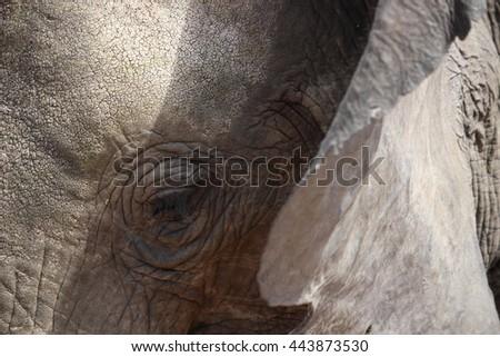 Elephant Close up - stock photo