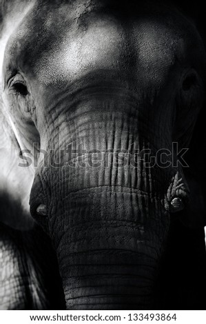 Elephant Close Up Portrait - stock photo