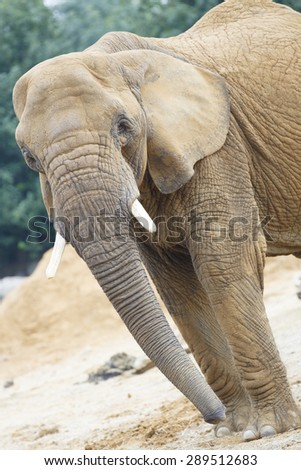 Elephant, close up with eye contact.