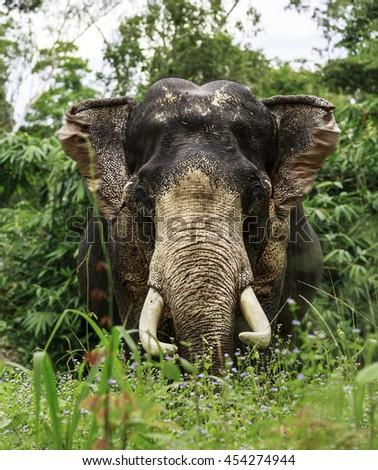 elephant closeup  face nature head perfect shape stands facing at the camera wodlife - stock photo