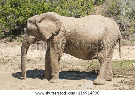 Elephant cooling-spray at Addo elephant national park, eastern cape, South Africa - stock photo