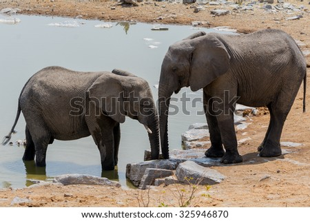 Elephant Cow and Calw. Seen during safari tour at Namibia, Africa. - stock photo