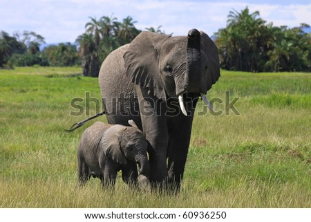 Elephant cow and her young calf in African National Park