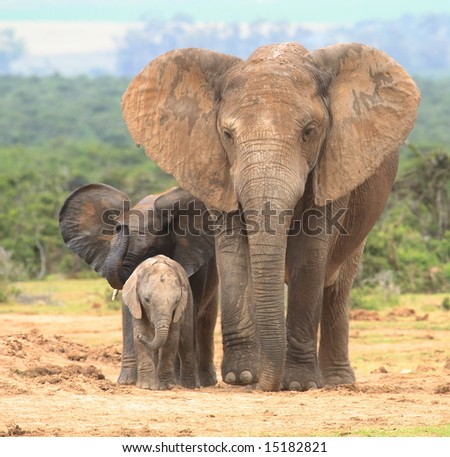 Elephant cow and two calves in different expressions. - stock photo