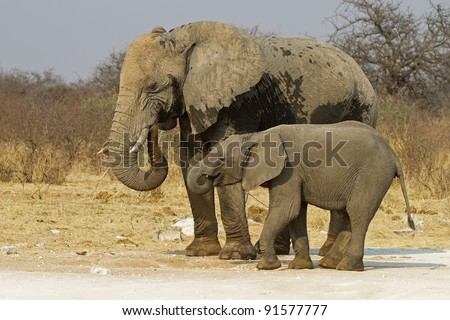 Elephant cow with baby; Loxodonta africana