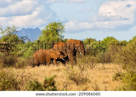 Elephant cow with daughter in the bushes of Samburu National Reserve, Kenya - stock photo