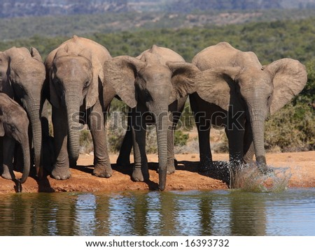 Elephant cows drinking and playing at the waterhole. - stock photo