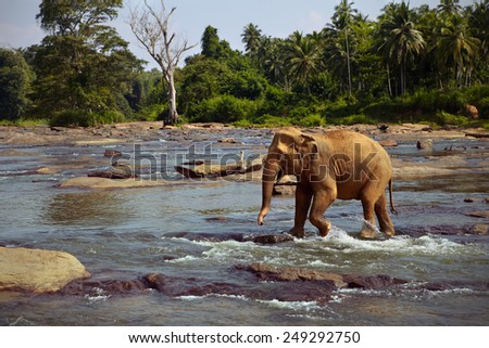 Elephant crosses a shallow stream - stock photo