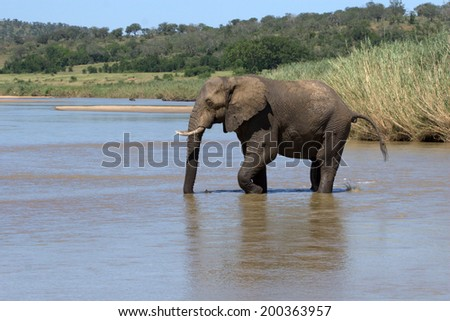 Elephant crossing a river