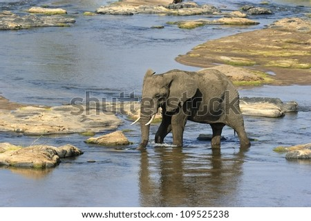 Elephant crossing river