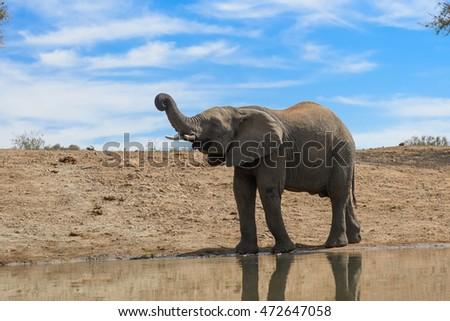 Elefant drektig