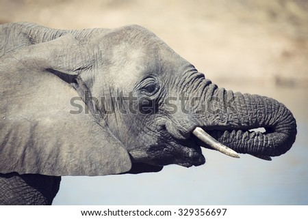 Elephant drinking and splashing water on a dry and hot day