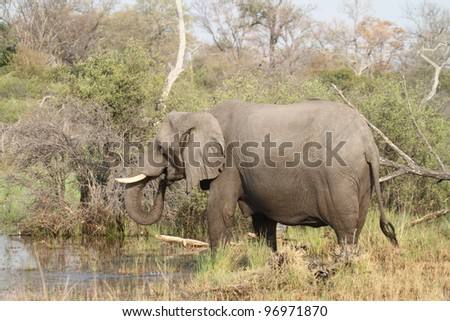 Elephant drinking in The Okavango Delta, Botswana - stock photo