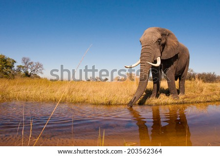 Elephant Drinking Water - stock photo