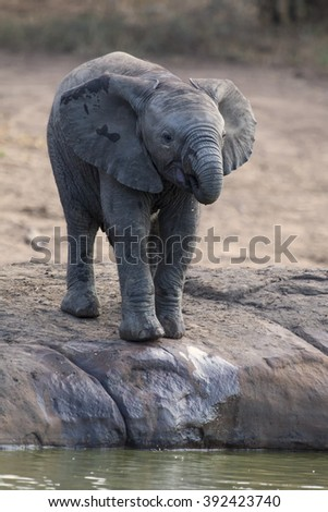 elephant drinking water at small pond - stock photo