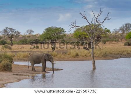 Elephant Drinking Water at Waterhole - stock photo
