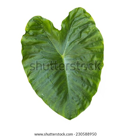 Elephant Ear Leaf Isolated on white background with clipping path - stock photo
