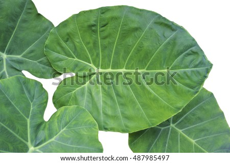 Elephant Ears Taro (colocasia esculenta) leaves isolated on white background, selective focus