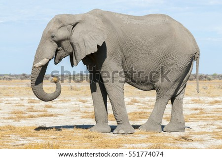 Elephant eating dry grass
