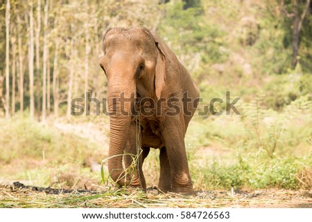 Elephant eating grass in a field in Thailand.