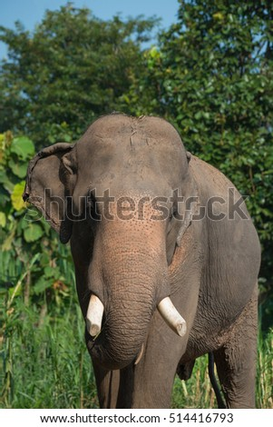 Elephant eating grass showing trunk with grass in mouth