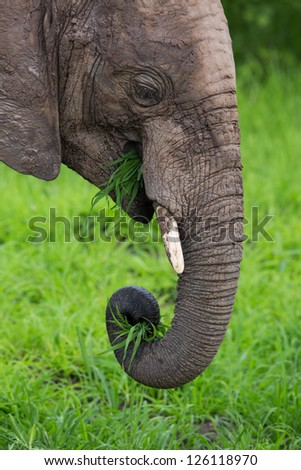 Elephant eating grass with trunk - stock photo