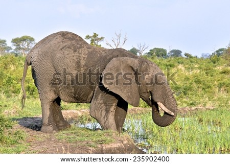 Elephant eating reeds at  water hole at Londolozi Game Reserve, Kruger National Park, South Africa - stock photo