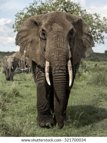 Elephant facing, Serengeti, Tanzania - stock photo