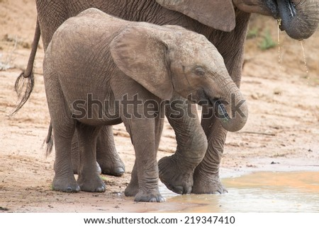 Elephant family drinking water to quench their thirst on a very hot day