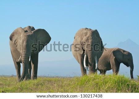 Elephant family grazing below Mount Kilimanjaro, Amboseli National Park, Kenya - stock photo