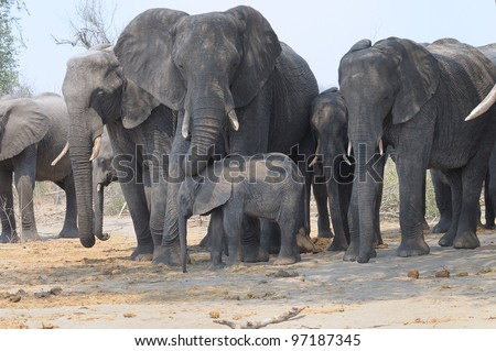 Elephant family group at Chobe national park in Botswana, Africa - stock photo
