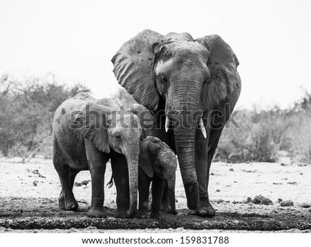 Elephant family in black and white (Etosha National Park, Namibia) - stock photo