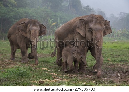 Elephant family in rural Thailand. Parent and a baby Asian elephant huddled together in the rain. Elephant Nature Park no abuse elephant sanctuary.