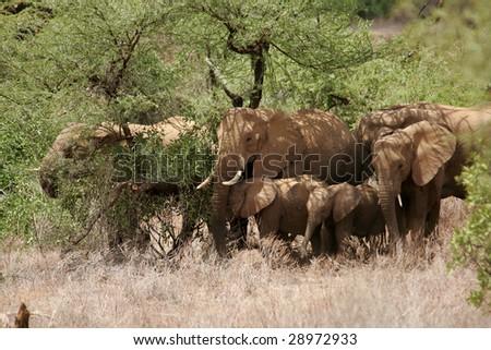 Elephant Family in Samburu - stock photo