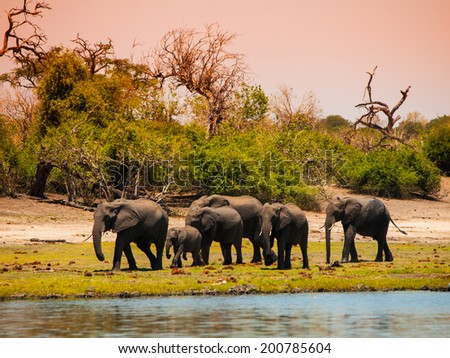 Elephant family walking at the river Chobe in Botswana - stock photo