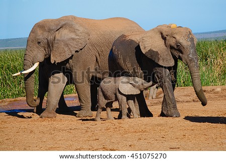 Elephant family with baby suckling in Addo Elephant Park, South Africa, next to water hole - stock photo