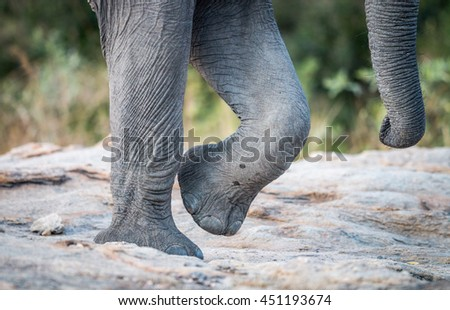 Elephant feet and trunk in the Kruger National Park, South Africa.