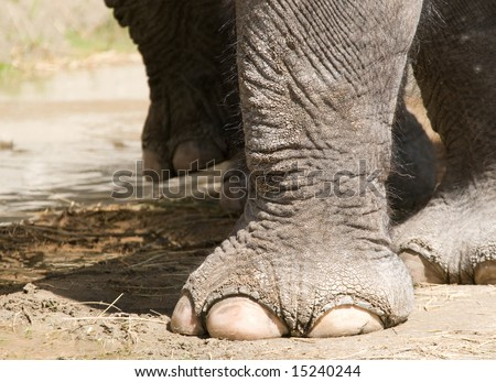 Elephant feet at the zoo - stock photo