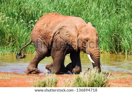 Elephant gets out of water and kneels down.